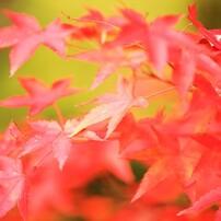 紅葉を探し求めて4