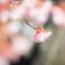 冬に咲く寒桜 Ⅰ