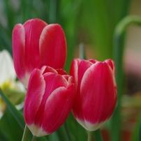 2018 Tulip color