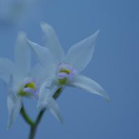 春の蘭展_2081