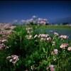 姫紫苑の咲くころに