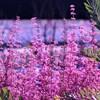 賑やかな紫色たち (エリカ)
