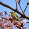 桜ジロー5
