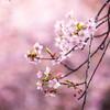 河津桜が咲く。 Ⅲ