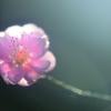 薄桃色の春光
