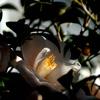 小庭の白弁…