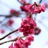 寒緋桜開花1