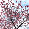 寒緋桜開花2