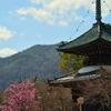 清凉寺多宝塔の梅