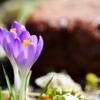 庭の花(クロッカス)