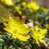 仰烏帽子山登山 春を告げる花(6)