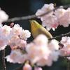 メジロ君と大寒桜(^^)/