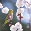 メジロさんの春うらら♪。.:*・゜