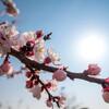 梅と桜の狭間に咲く‥