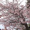 満開早咲き桜1
