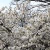 春光のオオシマザクラ2