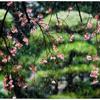 「花見」 小江戸川越散歩152