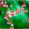 「気が早い桜の樹」小江戸川越散歩153