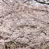 桜が咲いた2