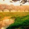 朝陽と桜と白鷺と
