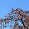 夕闇を待つ (枝垂れ桜)