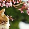 今年の桜と  (goma)