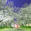 cherry tree at midnightⅢ