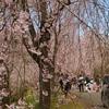 しだれ桜の並木道 4