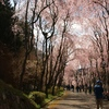 しだれ桜の並木道 3
