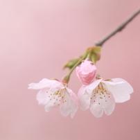 桜 ~2018年~