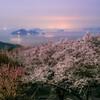 桜の華の命は短くて