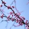 枝から弾けだす紫の粒 (ハナズオウ)