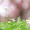 春の雨とシロツメグサ