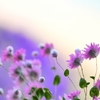Pink paper daisy