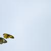 蝶々のカップル