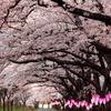 桜並木の帰り道