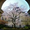 京都府庁旧本館のしだれ桜