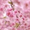 枝垂桜満開パシャリ _・)その2