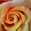 薔薇 part2