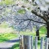 光る桜並木