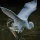 鷺山訪問「飾り羽根流れて」(チュウサギ)