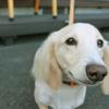 クリーム色 の 犬
