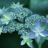 アジサイ、開花です。