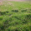 蓮華の野原