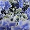 紫の宝箱の中 (アジサイ)