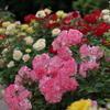 薔薇の園2
