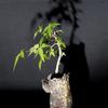 盆栽はペットです 2