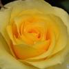 薔薇の園4