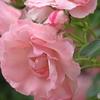 薔薇の園5
