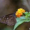 楽園の蝶 ツマムラサキマダラ